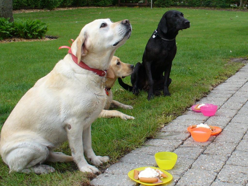Sådan fejres 1 års hundefødselsdag på Mejdal Hundepension. I baggrunden er det fødselsdagsbarnet, hundepensionens 'maskot' Ravensbank Whizzie (Frida) og foran sidder hendes legekammerater. De venter pænt på at få lov til at gå løs på fødselsdagsmenuen bestående af pølser og kartoffelmos.©Mejdal Hundepension