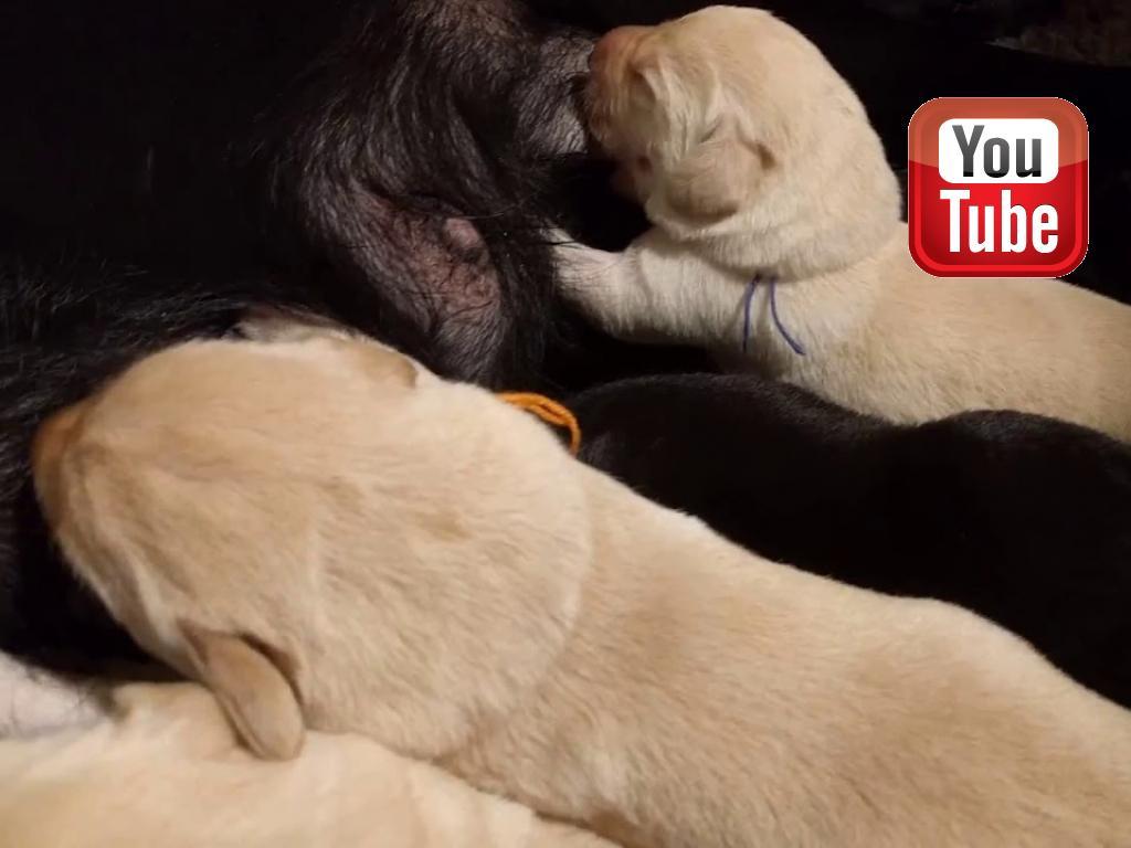 Video af hvalpene der spiser. Her er de 6 dage gamle.©Ravensbank Labrador Retrievers